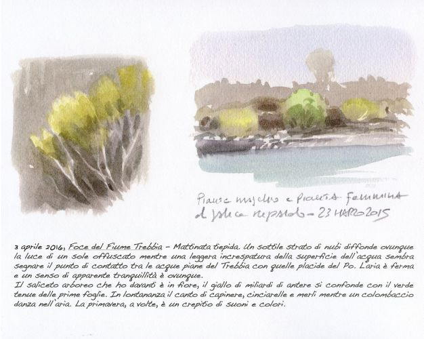 Saliceto arboreo lungo il fiume